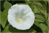 Haagwinde - Convolvulus sepium