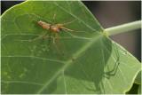 Herfsthangmatspin - Linyphia triangularis