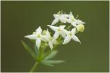 Moeraswalstro - Galium palustre