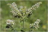 witte Munt - Mentha suaveolens
