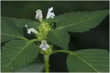 gewone Hennepnetel - Galeopsis tetrahit