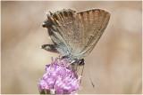 bruine Eikenpage -Satyrium ilicis