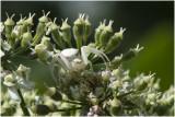 gewone Kameleonspin - Misumena vatia