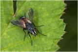 Sluipvliegensoort - Eriothrix rufomaculata