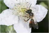 Roodrandzandbij - Andrena rosae