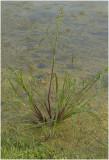 Europese Hanenpoot - Echinochloa crus