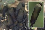 Houtknotszwam - Xylaria polymorpha