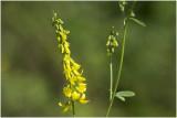 citroengele Honingklaver - Melilotus officinalis