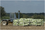 oogst van Witkool