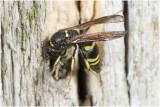 Muurwespensoort - Ancistrocerus spec