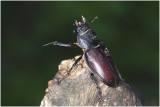 Vliegende Hert - Lucanus cervus