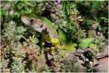 westelijke Smaragdhagedis - Lacerta bilineata