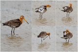 GALLERY Grutto - Limosa limosa