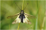 gewone Vlinderhaft  - Ascalaphus libelluloides