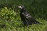 GALLERY ROEK - Corvus frugilegus