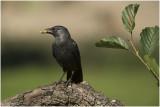 GALLERY Kauw - Corvus monedula