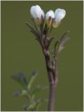 kleine Veldkers - Cardamine hirsuta