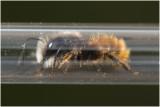 gehoornde Metselbij - Osmia cornuta