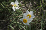 witte Narcis - Narcissus poeticus
