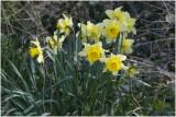 wilde Narcis - Narcissus pseudonarcissus