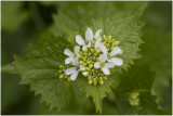 Look-zonder-look - Alliaria petiolata