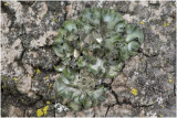 Olijfschildmos - Pleuristicta acetabulum