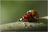 veelstippig Aziatisch Lieveheersbeestje  - Harmonia axyridis