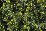 kleine Klaver - Trifolium dubium