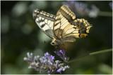 Koninginnepage - Papilio machaon