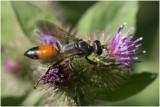GALLERY Sluipwespen - Ichneumonidae