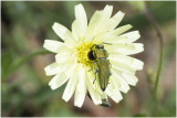 blinkende Prachtkever - Anthaxia nitidula