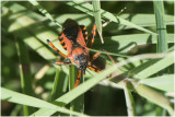 rode Roofwants - Rhynocoris iracundus