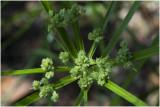 Papyrusplant - Cyperus papyrus