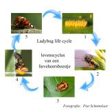 Ladybug - Lieveheersbeestjes - Coleopteria