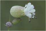 Blaassilene - Silene vulgaris