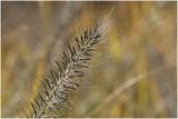Lampenpoetsersgras - Pennisetum alopecuroides