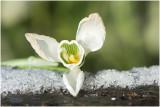 gewoon Sneeuwklokje - Galanthus nivalis