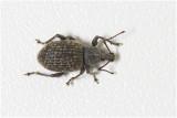 reebruine Bladsnuitkever - Polydrusus cervinus