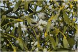 Maretak of Mistletoe - Viscum album