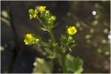 Blaartrekkende Boterbloem - Ranunculus sceleratus