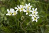 gewone Hoornbloem - Cerastium fontanum