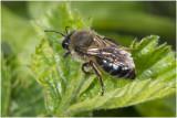 Meidoornzandbij - Andrena carantonica