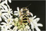 kleine Wespenbok - Clytus arietis