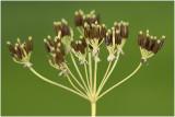Fluitenkruid - Anthriscus sylvestris