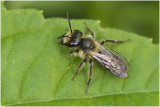 Heggenrankbij - Andrena florea