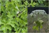 Reuzenberenklauw - Heracleum mantegazzianum