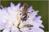 Knautiabij - Andrena hattorfiana