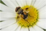 Sluipvlieg - Ectophasia crassipennis