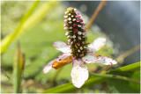 Water Anemoon - Anemopsis Californica