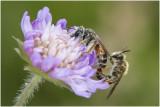 parende Knautiabijen - Andrena hattorfiana